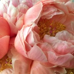 One of my favourites. Coral Charm peonies have been making us smile. Lots!